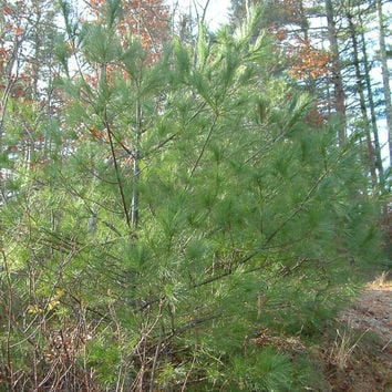 25 Eastern White Pine 2-3 Ft Tall