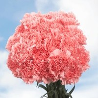 100 Fresh Cut Pink Carnations | Fresh Flowers Express Delivery | Perfect for Birthdays, Anniversary or any occasion.