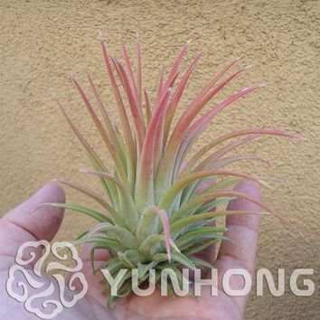 100pcs Hot Sale Tillandsia Cyanea Seeds Potted Flower Seeds Purple Chinese Rare Bonsai Decoration For Home& Garden Free Shipping