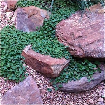 Dichondra Ground Cover Seeds (Dichondra Repens) 7g Seeds