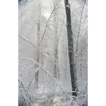 In winter, snow paints trees white in the woods of New York