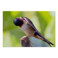 Barn Swallow Grooming Poster