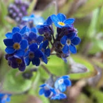 FORGET ME NOT 100+ SEEDS ORGANIC CRISP BLUE FLOWER