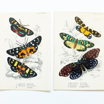 Two Pictures of Moths, Antique Moths Picture, Agarista agricola, Episteme, Vintage Moths, lepidoptera, nature, spring, insects