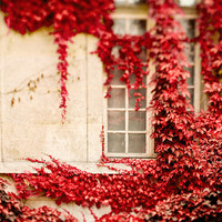 SALE Autumn, Romantic Fall Photography, Ivy Leaves, Red Wall Art, Romantic Paris Window, Cranberry, Home Decor, White - Climbing the Walls