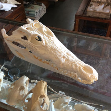 Nile Crocodile Skull 13""