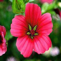Mallow Annual Mix Flower Seeds (Malope Trifida Mix) 50+Seeds