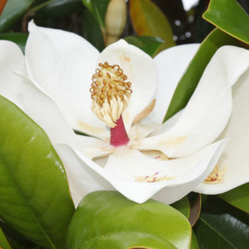 Southern Magnolias to Brighten your world, Colorful Wall Art, Photo, 5x7 Print, Green, White, Unique Gift, Affordable Decor, Treat Yourself
