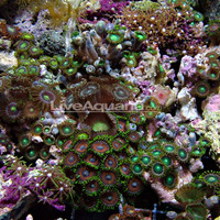 Saltwater Aquarium Corals for Marine Reef Aquariums: Nano Polyp Pack