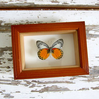 Real, Framed and mounted butterfly. Specimen box with insect. Wall hanging picture
