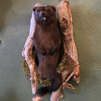 Pine Martin Taxidermy Mount