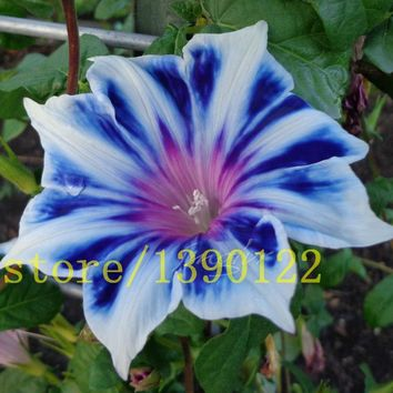 100 PETUNIA seeds rare blue white edge Morning Glory flower seeds for home garden planting planting petunia seeds