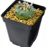 Peyote Cactus (3 - 4 cm) | Avalon Magic Plants