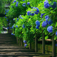 100 Bright Blue Hydrangea Flower Seeds | Long Lasting, Gorgeous Balcony or Yard Flower Plant Home Garden Decor Courtyard