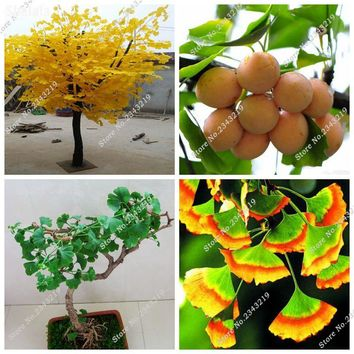 Heirloom Ginkgo Biloba Seed Exotic Japan Maidenhair Tree Seed, Rare Bonsai Tree Seedling Seed Flower Pots Planters 20 Pcs / Bag