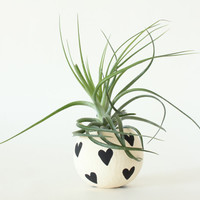 Air Plant Planter with Air Plant - Black Hearts. Valentine's Day Gift