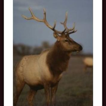 A View Of A Tule Elk With Large Antlers Standing In The Grass, framed black wood, white matte