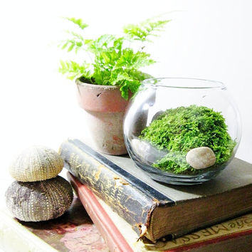 Live Plant Office Terrarium: Mini Indoor Desk Garden - Glass Bowl & Live Fern Moss - Easy Starter Terrarium