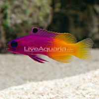 Saltwater Aquarium Fish for Marine Reef Aquariums: Royal Gramma Basslet