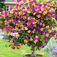 Free Shipping 100 Mix Color  Bougainvillea  Balcony  pot, yard  bonsai  flower plant immensely showy, floriferous hardy plant