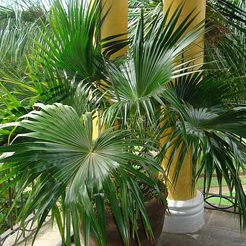 Chinese Fan Palm Seeds (Livistona chinensis) 5+Seeds