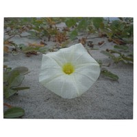 White Morning Glory on the Beach Jigsaw Puzzle