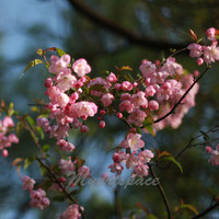 Pink Flowers Blossom, Spring tree flowers, Delicate, Spring macro print, Nature, 8 x 12''