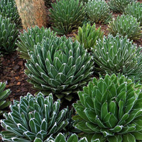 20 Agave Victoria Reginae Queen Victoria Cactus Seeds Spikey Succulent Leaves Can Absorb Harmful Gases Stunning Form Plants Gardening
