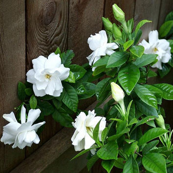 20 Gardenia Seeds (Cape Jasmine ) Amazing Fragant Exotic & Beautiful Flower, DIY Home Garden Potted Bonsai