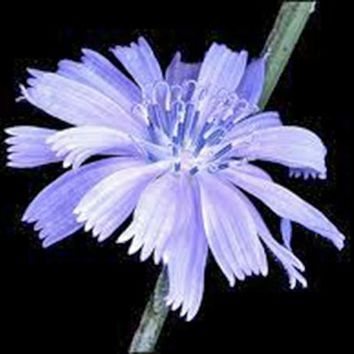 BLUEST BLUE CHICORY 100+ SEEDS ORGANIC, BEAUTIFUL BLUE CUT FLOWER