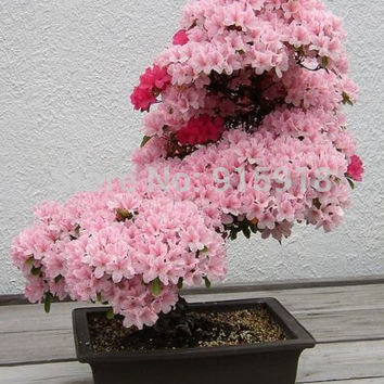 Bonsai Seeds 20pcs Sakura Seeds Bonsai Flower Pink Cherry Blossom Pot Plant Home Garden Free Shipping