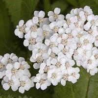 The Dirty Gardener Pure White Achillia Yarrow Flowers, 50+ Seeds