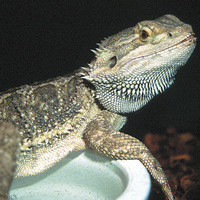 Bearded Dragons for Sale » Bearded Dragon - Live pets | PetSmart