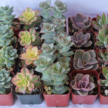 SAMPLES 5 assorted Succulent plants Collection 2 inch plastic pots succulents great for WEDDING FAVOR & gifts or samples