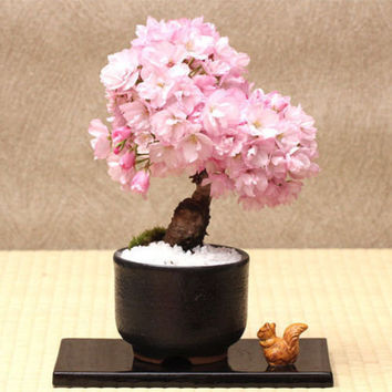 10 Japanese Sakura Cherry Blossom Flower Seeds | Rare Bonsai Tree Flower Garden Decor DIY Heirloom Organic