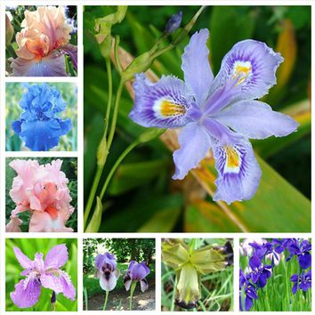 10pcs Bonsai Iris Flower Perennial Rare Bearded Iris Outdoor Potted Nature Plants Orchid Flores  for Garden Plant(hu die lan)