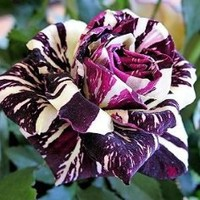 Black Dragon Rose Bush Flower Seeds 10 Stratisfied Seeds - Treasuresbylee Exclusive