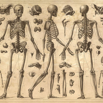 Skeleton Anatomy Diagram Human Body - Vintage Print Reproduction. Doctor Office Educational Chart Biology Science Poster. CP105