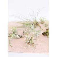 LIVE Assorted Live Air Plants Pack of 20 - Ships Alone
