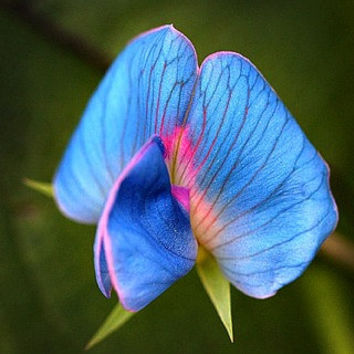 King Tut Blue Sweet Pea, Lathyrus sativus azureus, 7 very rare seeds, easy to grow, all zones, bushy vines, ground cover, luminous blue