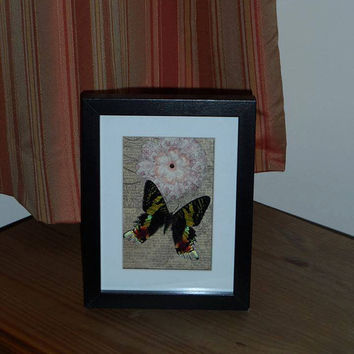 SALE Madagascan sunset moth mounted in a real wood  shadow box frame