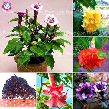 100 pcs Bonsai Double Datura Seeds Dwarf Brugmansia Angel Trumpets Perennial Flower Seeds Rare Potted Plant For Home Garden