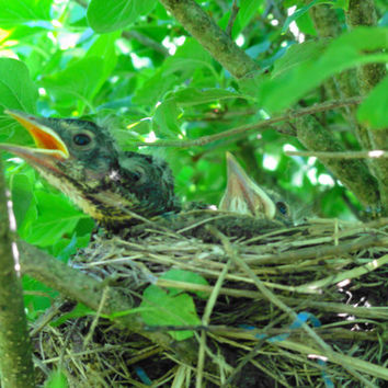 BAby Robins..Baby Bird Wall Art..Home Decor by Trish Helsel Photography..2 sizes