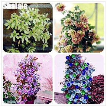 High quality Clematis Seeds Rare Climbing / Creepers Indoor Bonsai Pot Flower Garden Plants Sementes 50Pcs