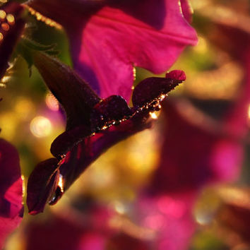 Floral Photography deep pink petunias in sunset,dramatic decor,maroon,burgundy,autumn floral,fall colors,gold,copper,brilliant pink,mauve,
