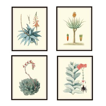 "Set of 4 Vintage Botanical Art Print Poster Reproductions ""Cactus and Succulents"" Set Unframed 8 x 10"" or 11 x 14"""