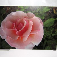Big Pink Rose Greeting Card - Balbo.. on Luulla