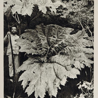1931 Gunnera Chilensis Tinctoria Leaf Chile UNUSUAL - ORIGINAL PHOTOGRAVURE SA2