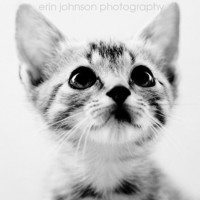 cat photography black and white fine art kitten baby animal photograph nursery wall art home decor Sweet Kitten 5x5