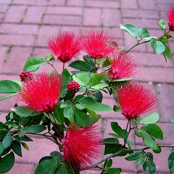 Calliandra tergemina, Red Powderpuff Tree, 10 seeds, showy shrub, zone 9-11, drought-tolerant, container plant, perfect bonsai, hummingbirds